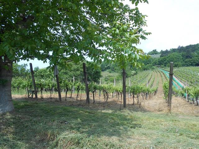 Vinohrad zprava zespodu