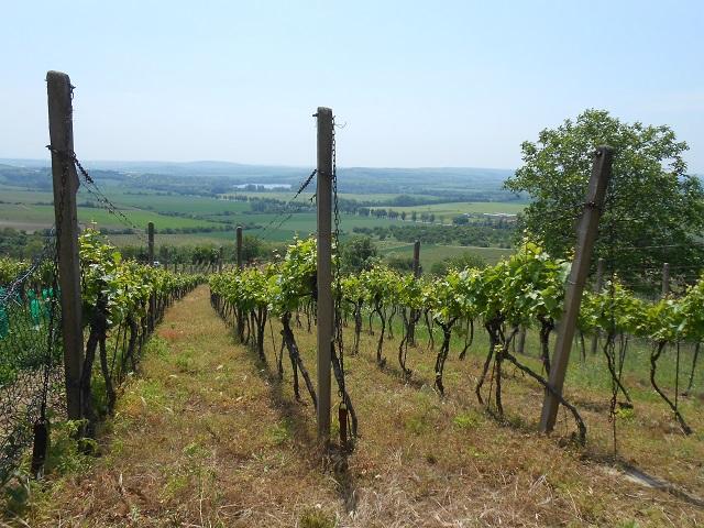 Horní část vinohradu