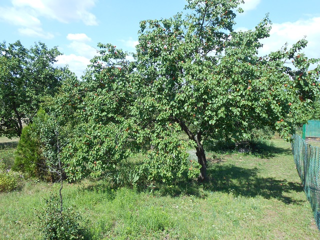 Stromy obsypané meruňkami