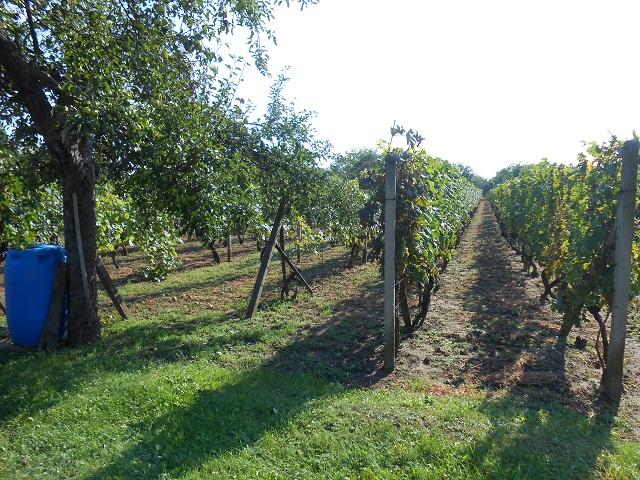 Vinohrad směrem od domu