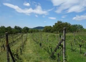 Prodej vinohradu 662 m², Mušlov