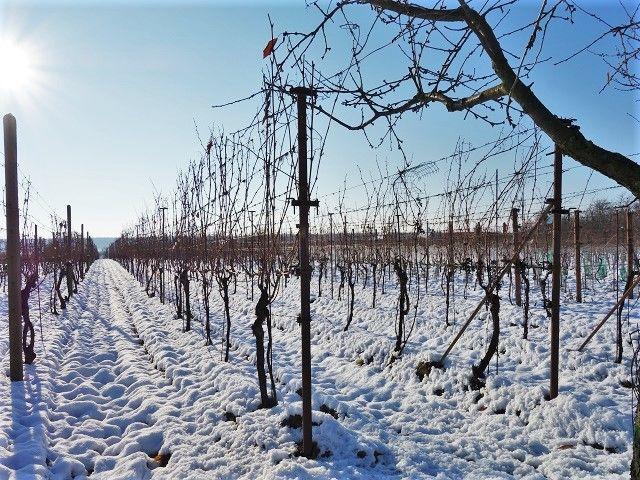 Vinohrad, pohled zboku