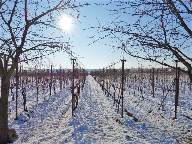 Vinohrad, pohled od sadu