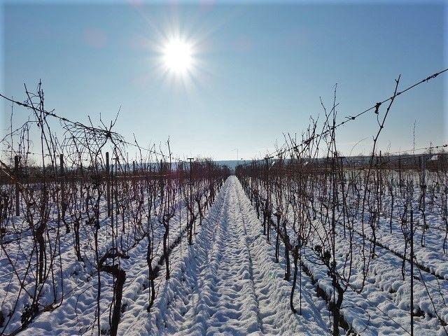 Střední část vinohradu