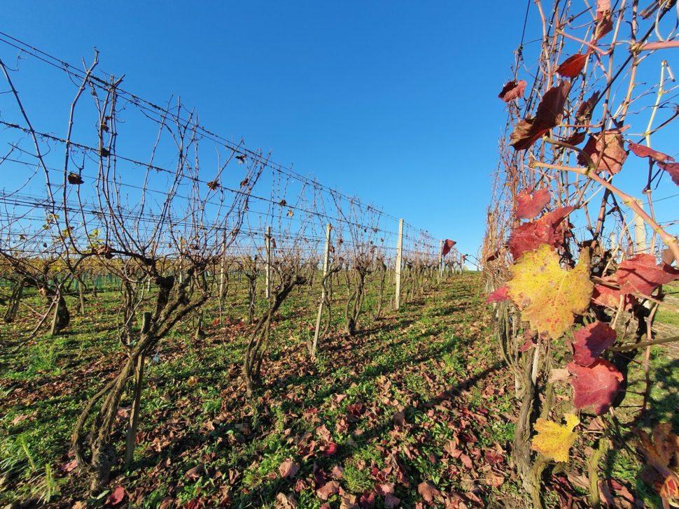 Střed vinice